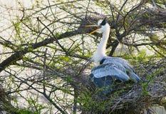 Grey Heron (ardea cinerea) Immagini Stock Libere da Diritti