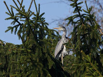 Grey Heron (Ardea cinerea) Images stock
