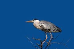 Grey Heron (Ardea cinerea) Images libres de droits