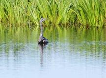Grey Heron (Ardea cinerea) Image libre de droits