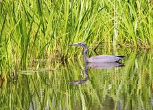Grey Heron (Ardea cinerea) stockbild