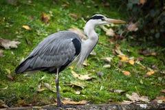 Grey Heron (Ardea cinerea) fotografia de stock royalty free