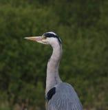 Grey Heron (Ardea cinerea) Fotografia de Stock