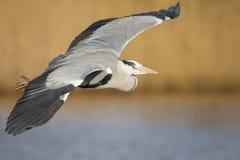 Grey Heron (ardea cinerea) Immagini Stock