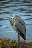 Grey Heron (Ardea cinerea) Images libres de droits