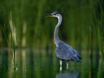 Grey Heron (Ardea cinerea). Young heron standing in water stock image