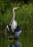 Grey Heron (Ardea cinerea). Young heron standing on stump Royalty Free Stock Images