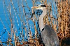 Grey Heron (Ardea cinerea) Lizenzfreie Stockfotografie