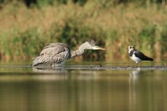 Grey Heron Ardea cinerea bathing Stock Photo