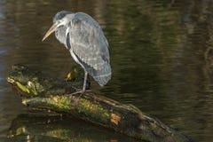 Grey heron , Ardea cinerea Great Britain. Stock Images