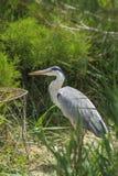 Grey Heron (Ardea cinerea) Bird Stock Images