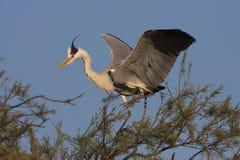 Grey heron, ardea cinerea Royalty Free Stock Photos