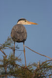 Grey heron, ardea cinerea Royalty Free Stock Photography