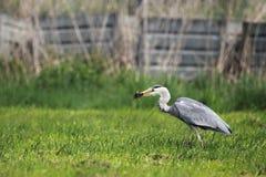 Grey Heron (Ardea cinerea) Stock Photography