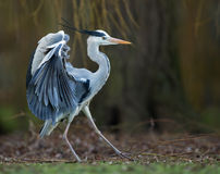 Grey Heron (Ardea cinerea). Close-up of Grey Heron (Ardea cinerea) displaying, UK Royalty Free Stock Images