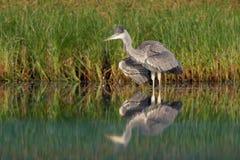 Grey Heron ( Ardea cinerea) colocándose en el lago, limpieza, caza Fotos de archivo