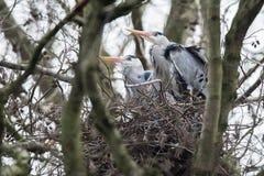 Grey heron Ardea cinerea couple sitting on nest in winter tree. Grey heron Ardea cinerea couple sitting on nest in a winter tree Royalty Free Stock Photos