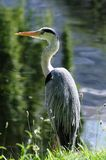 Grey Heron (ardea cinerea) by the edge of a lake. Grey Heron (ardea cinerea) resting by the edge of a lake on a sunnny afternoon Royalty Free Stock Images