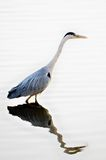 Grey Heron (ardea cinerea) fishing Stock Images