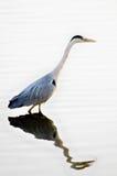 Grey Heron (ardea cinerea) fishing Stock Images