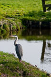 Grey heron or Ardea cinerea fishing. Grey heron in country landscape fishing at the waterside Stock Photography