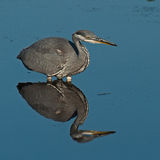 Grey Heron Ardea cinerea Stock Photo