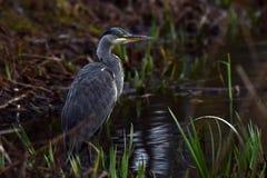 Grey Heron Ardea cinerea in fishing....in Sweden stock photos