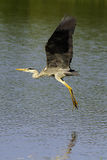Grey Heron (Ardea cinerea). In flight above the water Royalty Free Stock Photo
