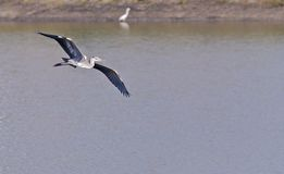 Grey Heron,Ardea cinerea,Flight,gliding over water Stock Photo