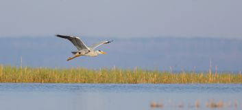 Grey Heron - Ardea cinerea - in flight. Grey Heron - Ardea cinerea - flying over the waters of Curonian lagoon, Klaipeda county, Lithuania Stock Image