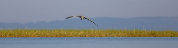Grey Heron - Ardea cinerea - in flight. Grey Heron - Ardea cinerea - flying over the waters of Curonian lagoon, Klaipeda county, Lithuania Royalty Free Stock Images