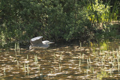 Grey Heron. (Ardea cinerea) flying above a small pool Stock Photo