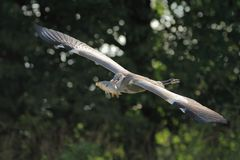 Grey Heron Ardea cinerea flying with the carp Royalty Free Stock Photography