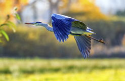 Grey heron, ardea cinerea. Flying in the countryside Royalty Free Stock Photo