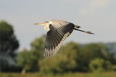 Grey Heron Ardea cinerea flying Stock Images