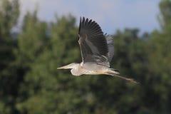 Grey Heron Ardea cinerea flying Royalty Free Stock Images