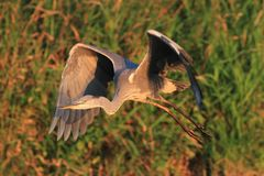 Grey Heron Ardea cinerea flying Royalty Free Stock Photo