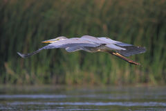 Grey heron/Ardea cinerea. Stock Images