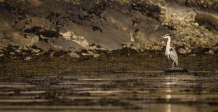 Grey Heron (Ardea cinerea) Royalty Free Stock Photos