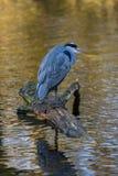 Grey heron , Ardea cinerea , Great Britain Royalty Free Stock Photos