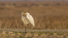 Grey Heron and Great Egret Stock Photos
