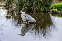 Grey heron Ardea cinerea stock images