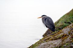 Grey heron Ardea cinerea. British Columbia, Canada Stock Photos
