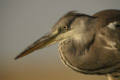 Grey Heron - Ardea cinerea. Large gray heron from Euroasian lakes and rivers Stock Photography