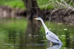 Grey Heron Ardea cinerea. Standing in a lake in a nature protection area near Frankfurt, Germany, Europe Stock Images