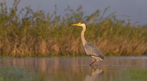 Grey Heron - Ardea cinerea. At a wetland in spring, Nemunas river delta, Lithuania Stock Photos