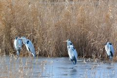Grey Heron & x28;Ardea cinerea& x29; Group, in Winter Stock Image