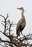 Grey Heron (Ardea cinerea) Royalty Free Stock Photography