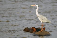 Grey heron (Ardea cinerea) on hippopotamus (Hippopotamus amphibius) Royalty Free Stock Photos