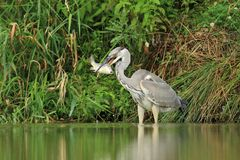 Grey Heron Ardea cinerea hunt a fish Royalty Free Stock Images